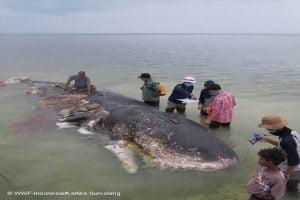 Capodoglio morto in Indonesia con 6kg di plastica nello stomaco