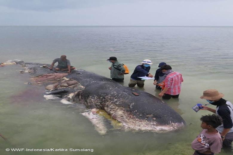 Capodoglio morto in Indonesia con 6kg di plastica nello stomaco | Ambiente Bio